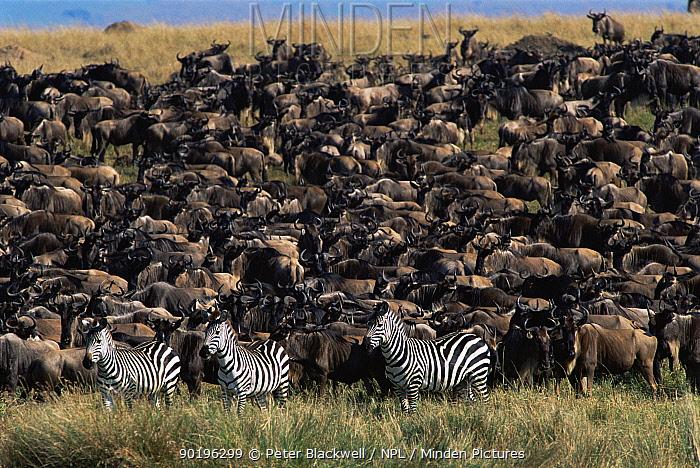 Three Zebra stand with herd of Wildebeest (Equus burchelli) Masai Mara, Kenya  -  Peter Blackwell/ npl