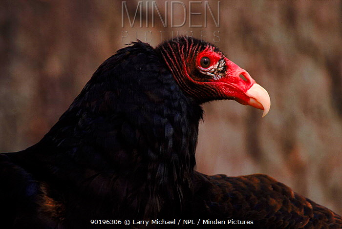 Turkey vulture (Cathartes aura)  -  Larry Michael/ npl