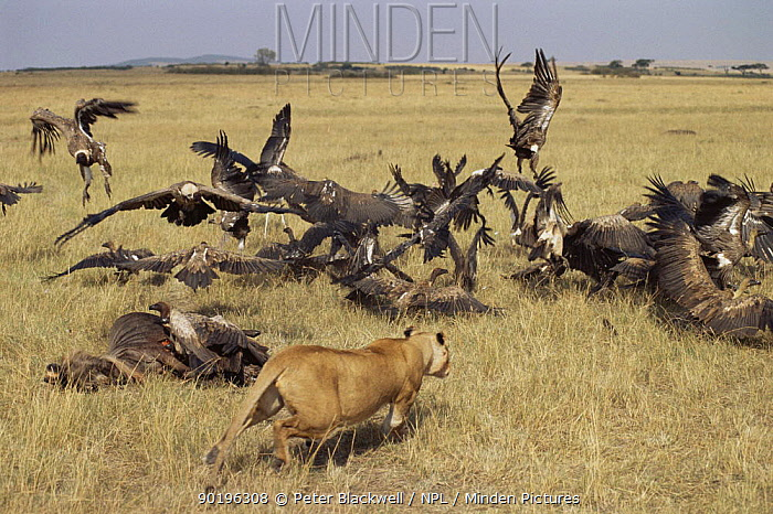 Lion (Panthera leo) chases vultures from kill, Masai Mara GR, Kenya, East Africa  -  Peter Blackwell/ npl