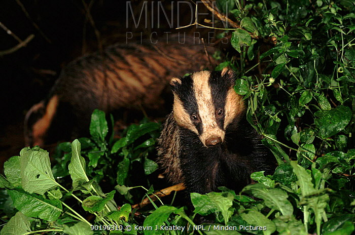 Young adult Badger foraging (Meles meles) foraging, July Devon, England, UK, Europe  -  Kevin J Keatley/ npl