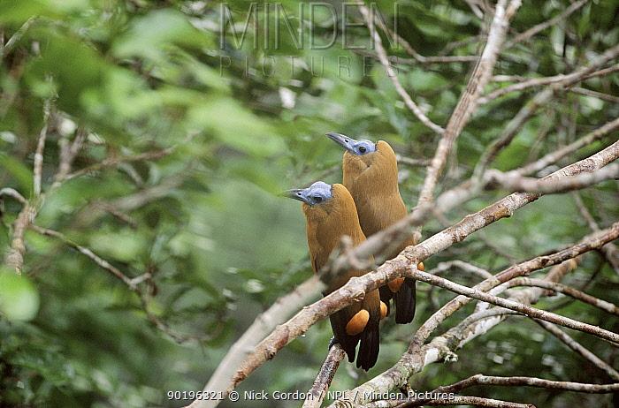 Two male capuchin birds at lek, Amazon Brazil  -  Nick Gordon/ npl