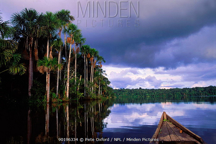 Moriche palm swamp (Moriche flexuosa) Lake Sandoval, Peru Amazonia  -  Pete Oxford/ npl
