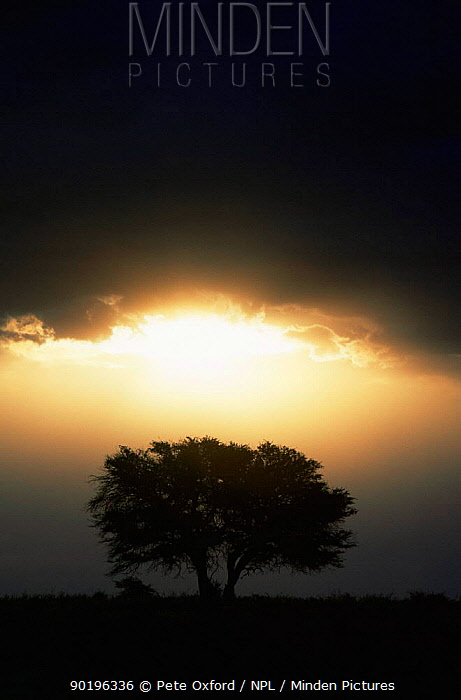 Acacia tree and thunder clouds, Kgalagadi Transfrontier Park, South Africa  -  Pete Oxford/ npl