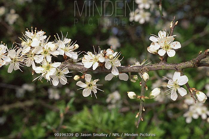 Sloe bush or Blackthorn in flower (Prunus spinosa) Lancashire, UK  -  Jason Smalley/ npl