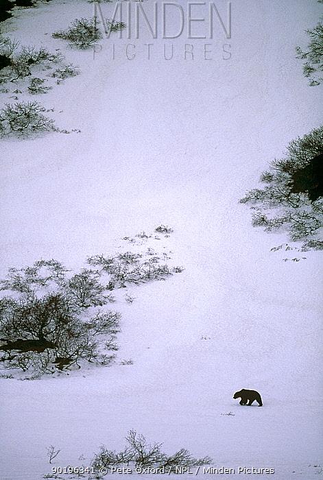 Aerial view of Brown bear walking across snow (Ursus arctos) Kamchatka, Russia  -  Pete Oxford/ npl
