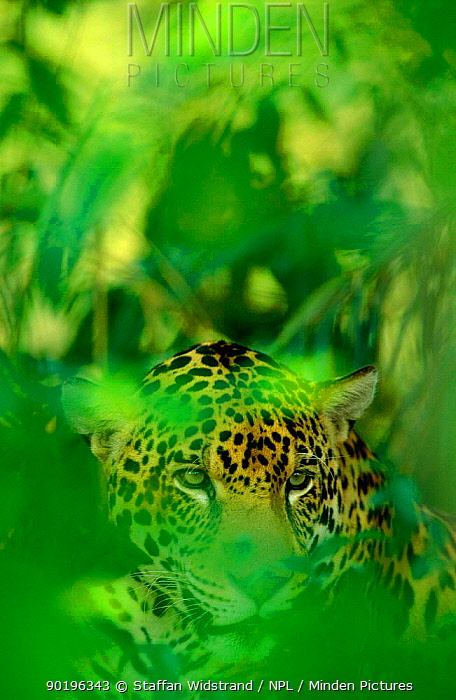 Jaguar, male in undergrowth (Panthera onca) captie Pantanal, Brazil  -  Staffan Widstrand/ npl