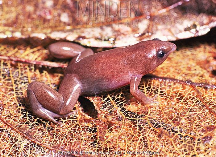 Narrow mouthed burrowing toad (Synapterus rabus) Yasuni NP, Ecuador  -  Morley Read/ npl