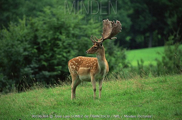 Fallow deer male (Dama dama) Spain  -  Jose Luis Gomez De Francisco/ np