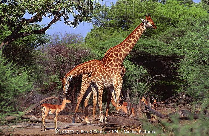 Two Giraffe (Giraffa camleopardalis) sharing waterhole with Impala, Southern Africa  -  Ron O'Connor/ npl