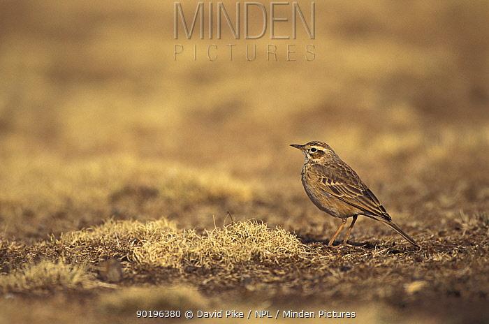 Dark plain backed pipit (Anthus leucophrys) Simien mts NP, Ethiopia  -  David Pike/ npl