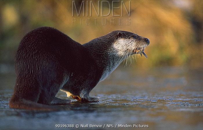 European river otter feeding on frozen water (Lutra lutra) captive Netherlands  -  Niall Benvie/ npl