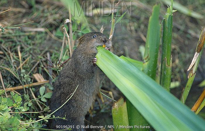 Water vole feeding on iris leaves (Arvicola terrestris) Kent UK  -  Niall Benvie/ npl