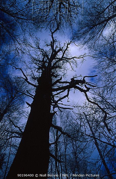 Ancient pedunculate oak Bialowieza National Park Poland  -  Niall Benvie/ npl