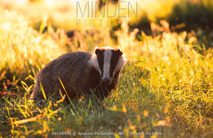 Young subadult Badger forages in evening sun (Meles meles) Derbyshire England  -  Andrew Parkinson/ npl