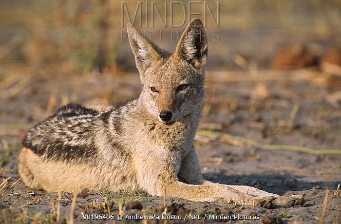 Black backed jackal resting in the sun (Canis mesomelas) Moremi GR, Botswana  -  Andrew Parkinson/ npl