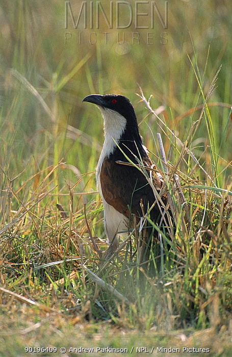 Senegal coucal in reeds (Centropus senegalensis) Moremi, Botswana  -  Andrew Parkinson/ npl