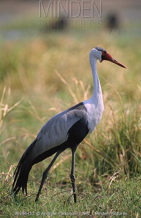 Wattled crane portrait (Bugeranus carunculatus) Moremi, Botswana  -  Andrew Parkinson/ npl