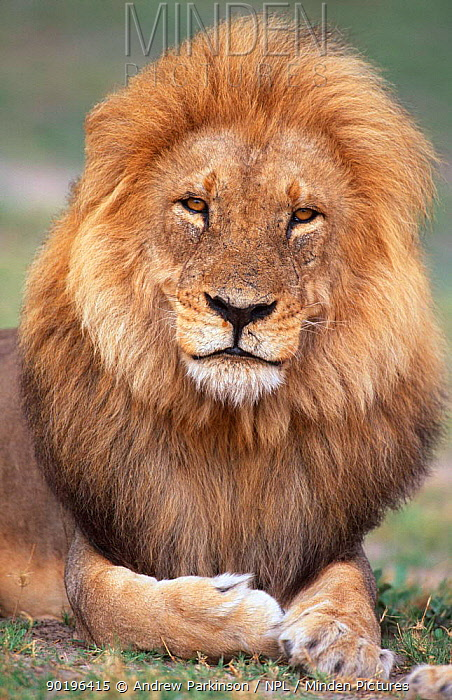Male African lion in his prime, portrait (Panthera leo) Chobe NP, Botswana  -  Andrew Parkinson/ npl