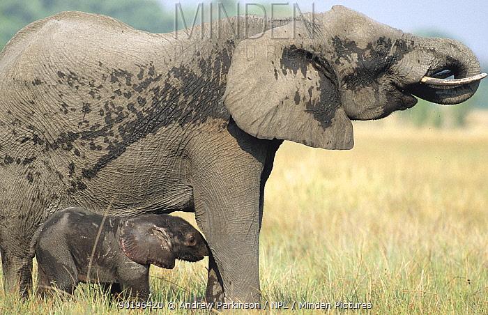 African elephant female and calf Moremi GR, Botswana (Loxodonta africana)  -  Andrew Parkinson/ npl
