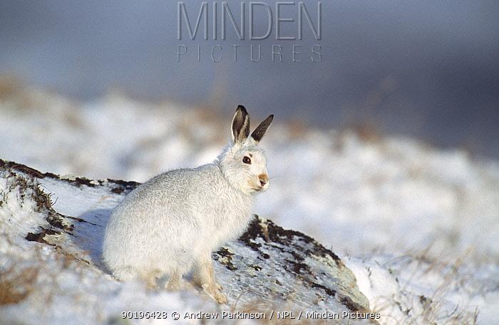 Mountain hare in winter coat in snow (Lepus timidus) Scotland, UK  -  Andrew Parkinson/ npl