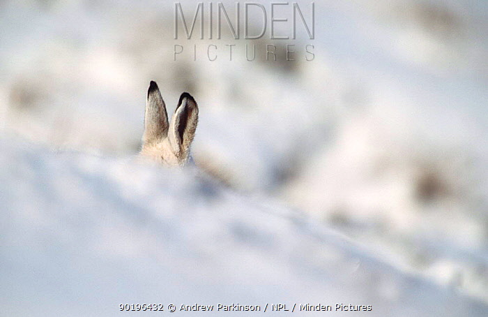 Mountain hare in winter coat ears appear over snow drift (Lepus timidus) Scotland, UK  -  Andrew Parkinson/ npl