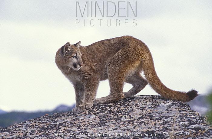 Juvenile female Puma, mountain lion (Felis concolor) captive, Montana, USA  -  Michael Durham/ npl