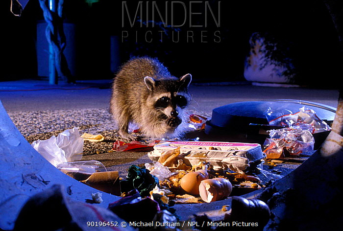 Raccoon raiding urban rubbish site (Procyon lotor) Oregon, USA  -  Michael Durham/ npl