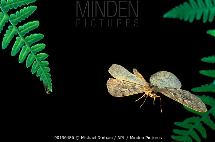 Spanworm moth (Geometridae, possibly Erannis tiliaria) flying at night, Oregon, USA  -  Michael Durham/ npl