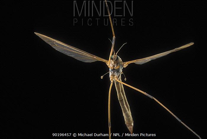 Crane fly (Tipula sp) flying at night, note one leg missing, Oregon, USA  -  Michael Durham/ npl