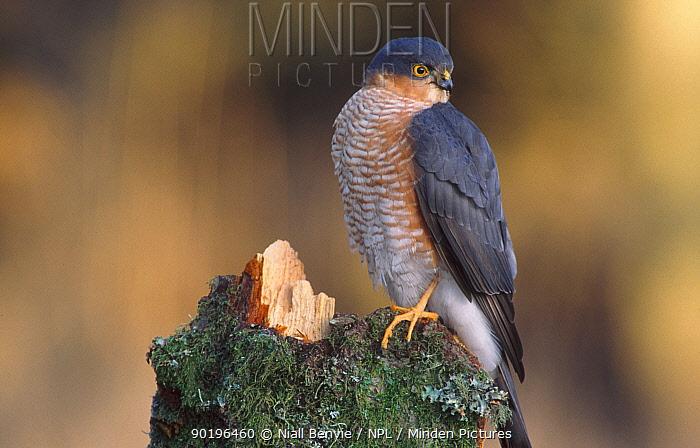 Male sparrowhawk on alder stump (Accipiter nisus) Scotland  -  Niall Benvie/ npl