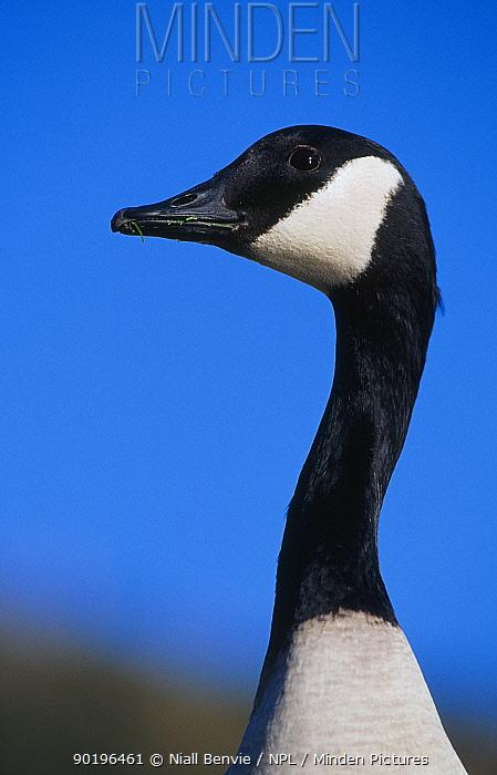 Canda goose head and neck portrait (Branta canadensis) Scotland UK  -  Niall Benvie/ npl