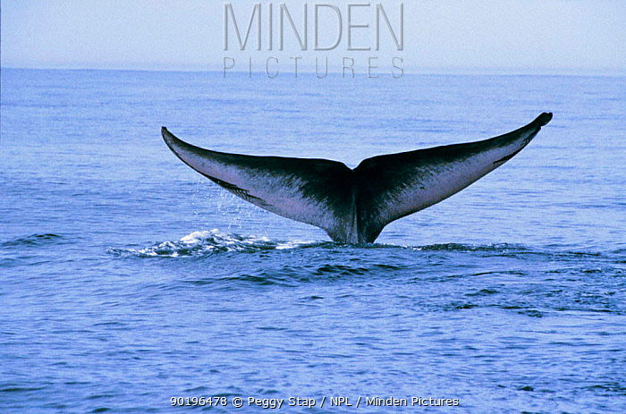 Blue whale (Balaenoptera musculus) tail fluke with teeth marks from Killer whale, CA, USA  -  Peggy Stap/ npl