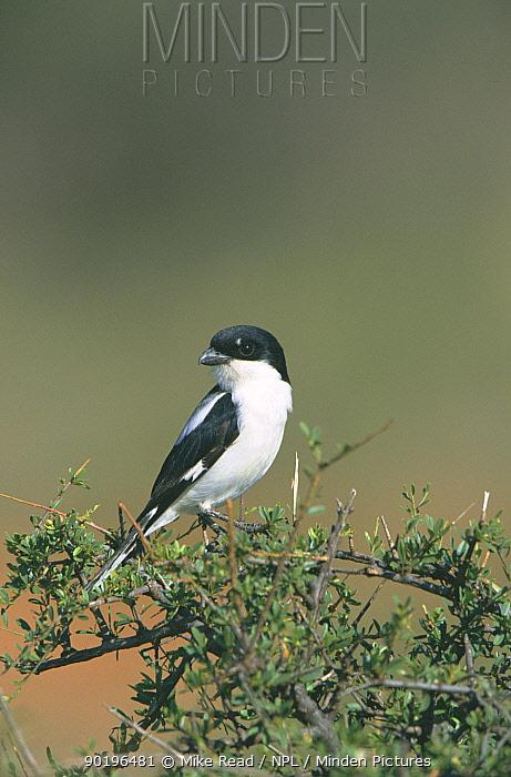 Taita fiscal shrike (Lanius dorsalis) on acacia tree Samburu NP, Kenya  -  Mike Read/ npl