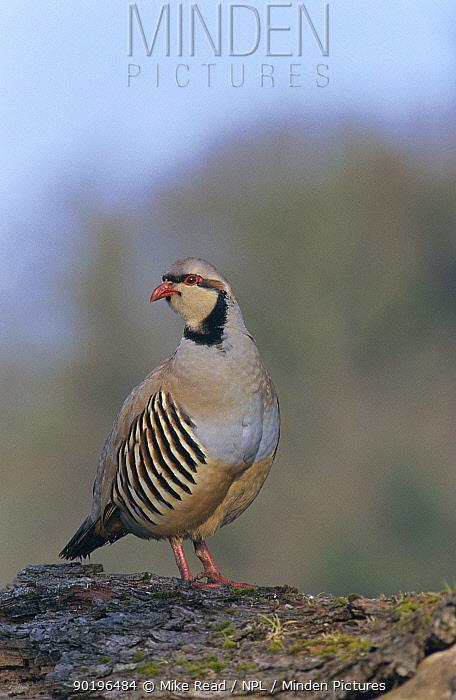 Chukar partridge (Alectoris chukar) Hampshire, UK  -  Mike Read/ npl