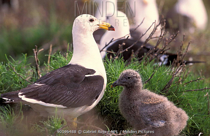 Band-tailed gull and chick (Larus belcheri) Argentina  -  Gabriel Rojo/ npl