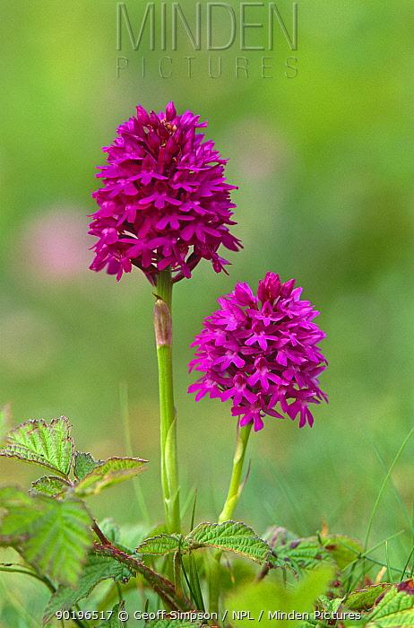 Pyrimidal orchid (Anacamptis pyramidalis) Ainsdale sand dunes NNR, Lancashire, UK  -  Geoff Simpson/ npl