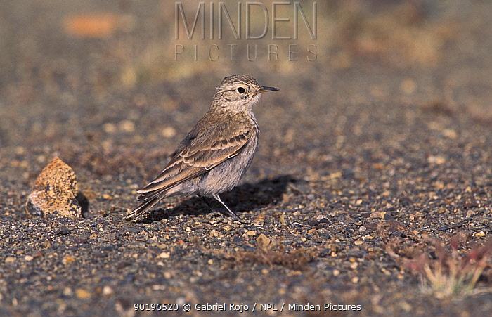 Common miner (Geositta cunicularia) Argentina  -  Gabriel Rojo/ npl