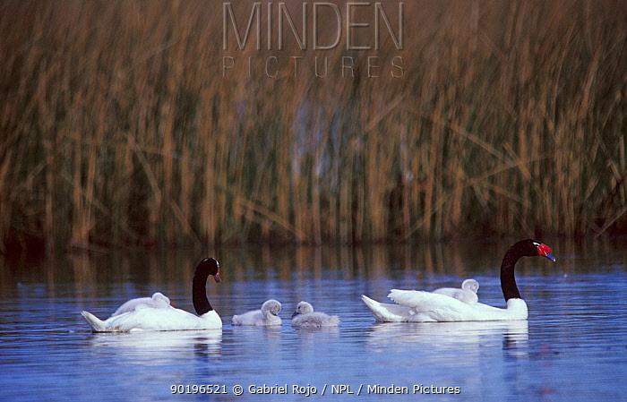 Black necked swans with cygnets (Cygnus melancoryphus) Argentina  -  Gabriel Rojo/ npl