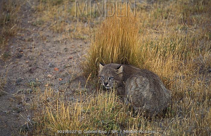 Pampas cat, wild (Felis colocolo) Patagonia, Argentina  -  Gabriel Rojo/ npl