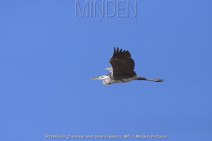 Grey heron (Ardea cinerea) Oman  -  Hanne & Jens Eriksen/ npl