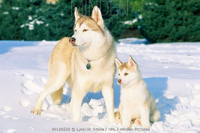 Siberian husky and puppy in snow (Canis familiaris) USA  -  Lynn M. Stone/ npl