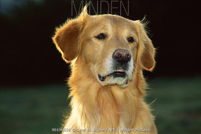 Golden retriever portrait (Canis familiaris) USA  -  Lynn M. Stone/ npl