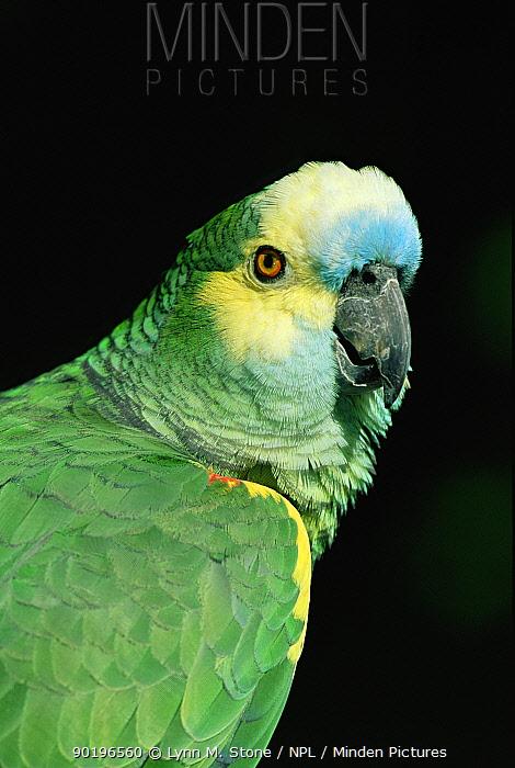 Blue fronted amazon parrot (Amazona aestiva) captive  -  Lynn M. Stone/ npl
