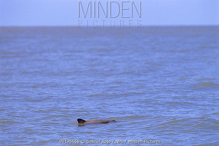 La Plata river dolphin, Samborombon bay, Argentina (Pontoporia blanvillei)  -  Gabriel Rojo/ npl