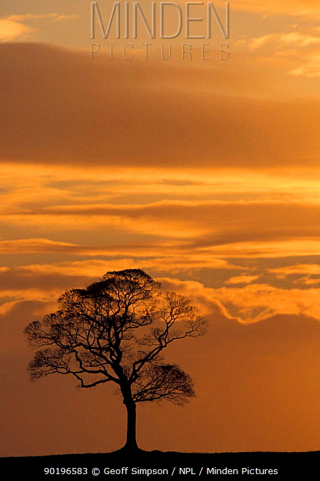 Sycamore tree silhouetted against sunset Peak district NP, Derbyshire, UK  -  Geoff Simpson/ npl