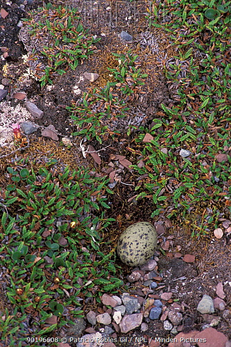 Arctic tern egg in nest (Sterna paradisaea) Svalbard, Norway  -  Patricio Robles Gil/ npl