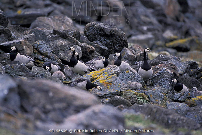 Barnacle geese with chicks (Branta leucocopsis) Svalbard, Norway  -  Patricio Robles Gil/ npl