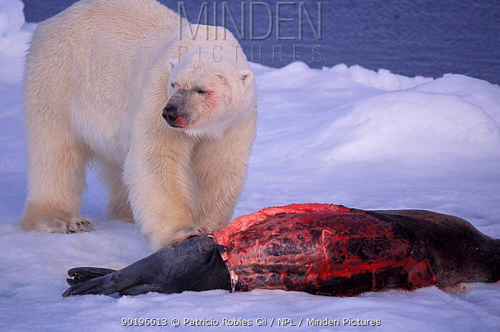 Polar bear (Ursus maritimus) feeding on seal Svalbard, Norway  -  Patricio Robles Gil/ npl