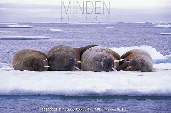 Four Walruses sleeping on ice (Odobenus rosmarus) Svalbard, Norway  -  Patricio Robles Gil/ npl