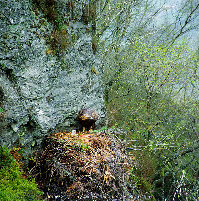 Golden eagle at nest with chick (Aquila chrysaetos) UK  -  Terry Andrewartha/ npl